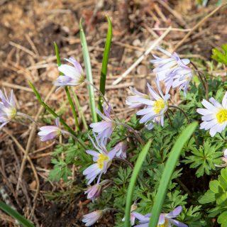 Anemone blanda 'Twinkling Eyes' - balkansippa