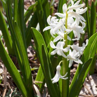 Hyacinthus 'White Pearl' - hyacint