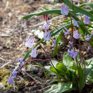 Erythronium hendersonii, svartögd hundtandslilja