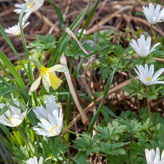 Narcissus pseudonarcissus 'W.P. Milner' - påsklilja