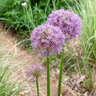 Allium 'Globemaster'