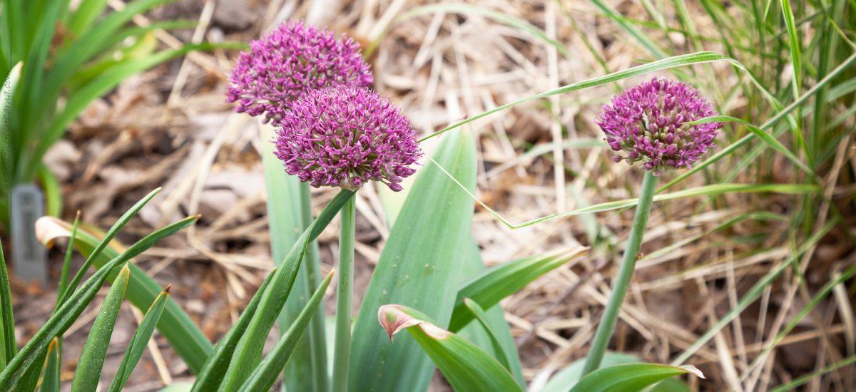 Allium – lökväxter med behag