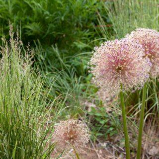 Trädgårdsdrömmar - Allium 'Globemaster' - frökapslarna är vackra