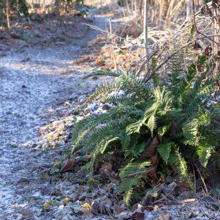 Polystichum munitum - svärdbräken