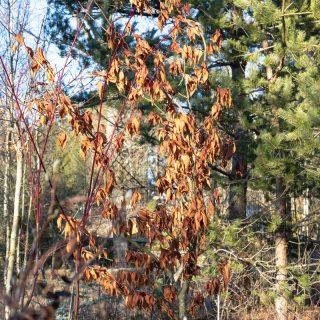 Acer carpinifolium - avenbokslönn blad i januari