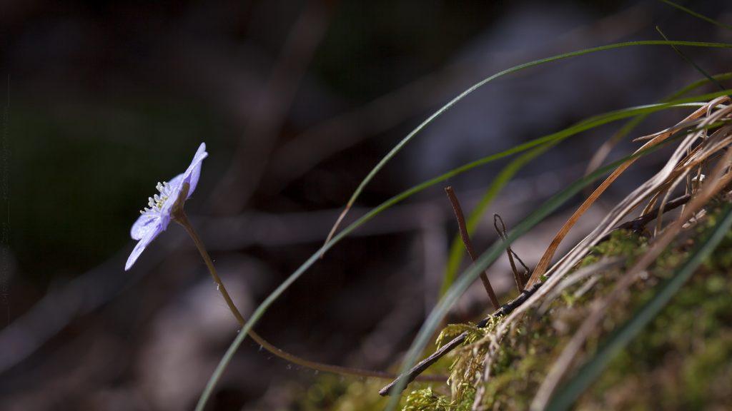 Smultronställen - de flesta i naturen, Hepatica nobilis - blåsippa