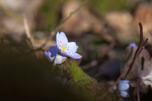 Hepatica nobilis - blåsippa