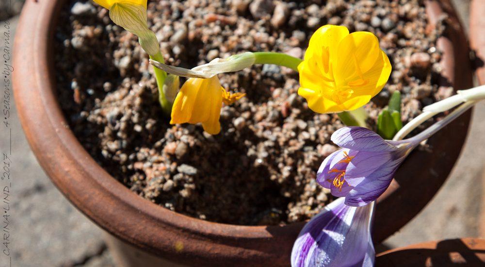 Sternbergia – krokuslilja