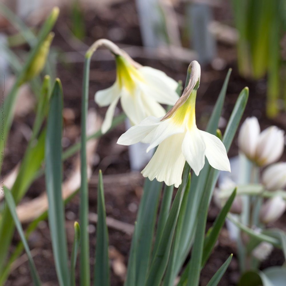 Gödning av lökväxter - Narcissus moschatus - myskpåsklilja