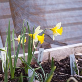Narcissus pseudonarcissus 'Lobularis' - påsklilja