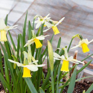 Narcissus Cyclamineus-grp 'Jenny'