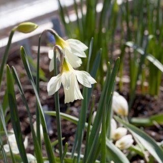 Narcissus moschatus - myskpåsklilja