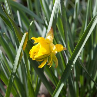 Narcissus x incomparabilis 'Butter and Eggs'