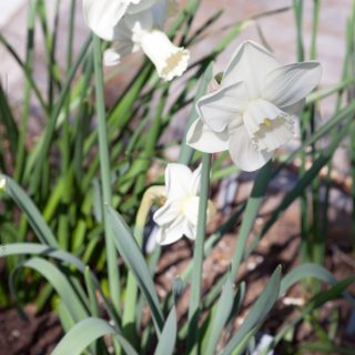 Narcissus x incomparabilis 'White Lady'