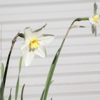 Narcissus x incomparabilis 'Misty Glen'