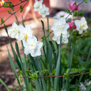 Narcissus 'Cheerfulness'