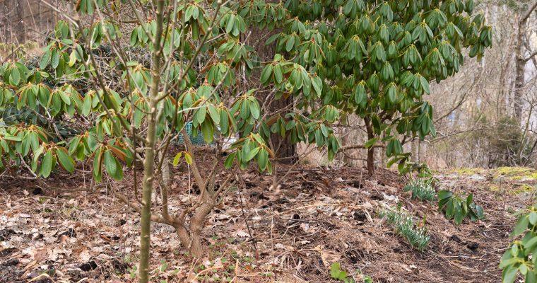 Rhododendronstigen i februari
