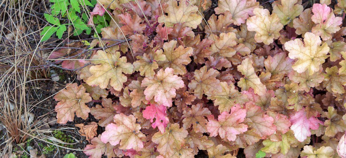 Heuchera – vackra blad för halvskugga
