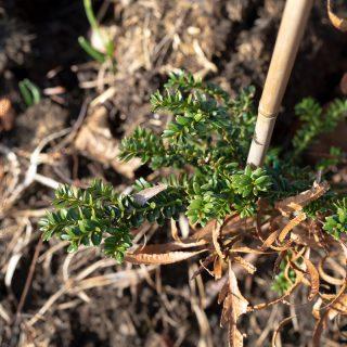 Taxus baccata 'Rushmore'