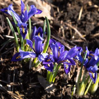 Knölbildande - Iris Reticulata-grp 'Cantab', våriris