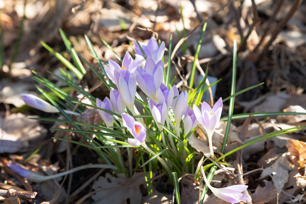 Crocus tommasinianus 'Lilac Beauty' - snökrokus
