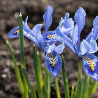 Iris Reticulata-grp 'Alida' - våriris