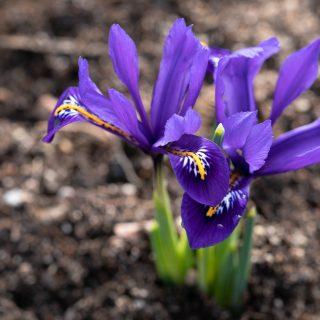 Iris Reticulata-grp 'Harmony'