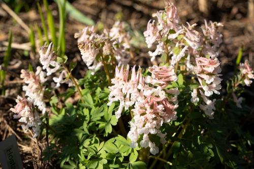 Corydalis solida pale pink seedling - nunneört