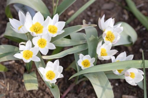 Tulipa polychroma - porslinstulpan