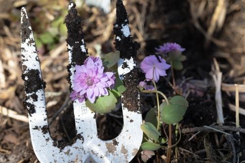 Anemonella thalictroides 'Oscar Schoaf' - sippruta