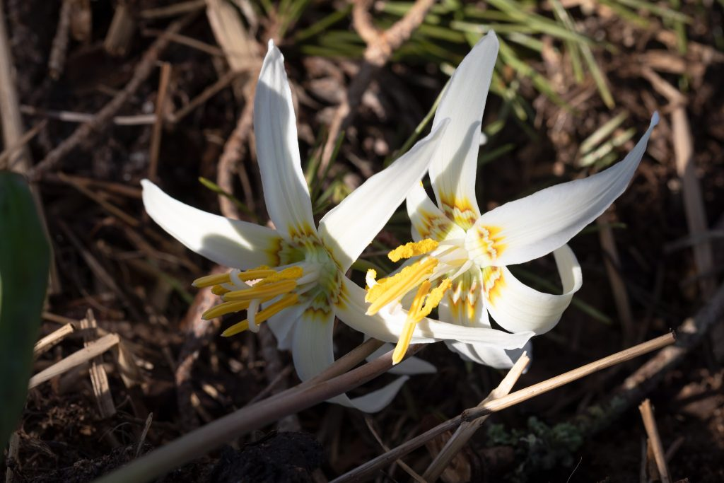 Påskgodis - Erythronium oregnoum - vit hundtandslilja