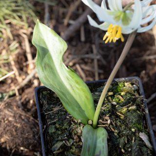Erythronium oregnoum - vit hundtandslilja