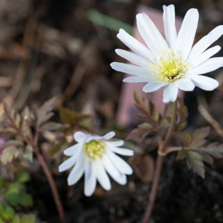 Anemone apennina 'Alba' - vit knölsippa