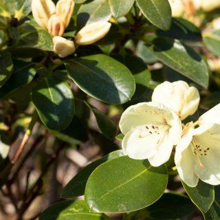 Rhododendron Wardii-grp 'Graf Lennart
