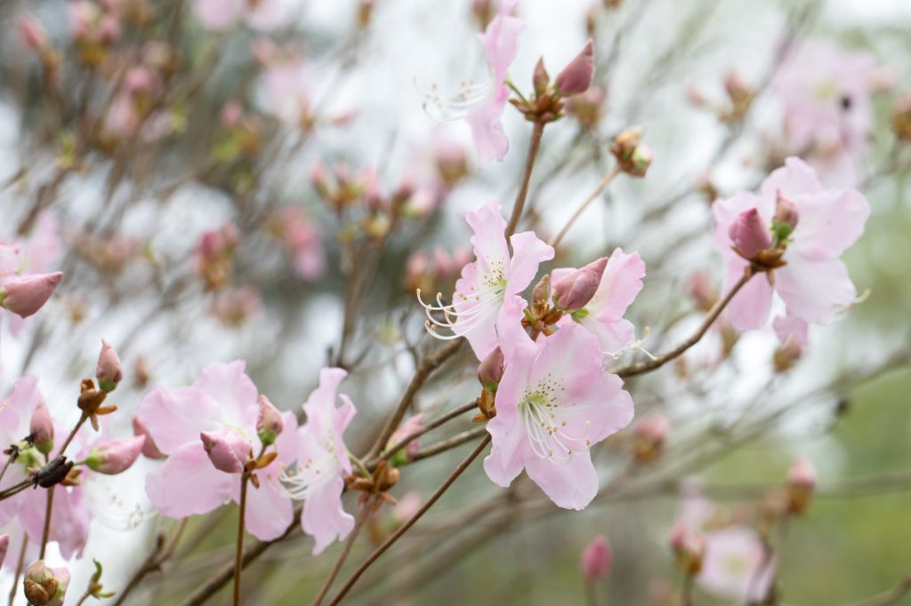 Rhododendron schlippenbackii - koreansk azalea