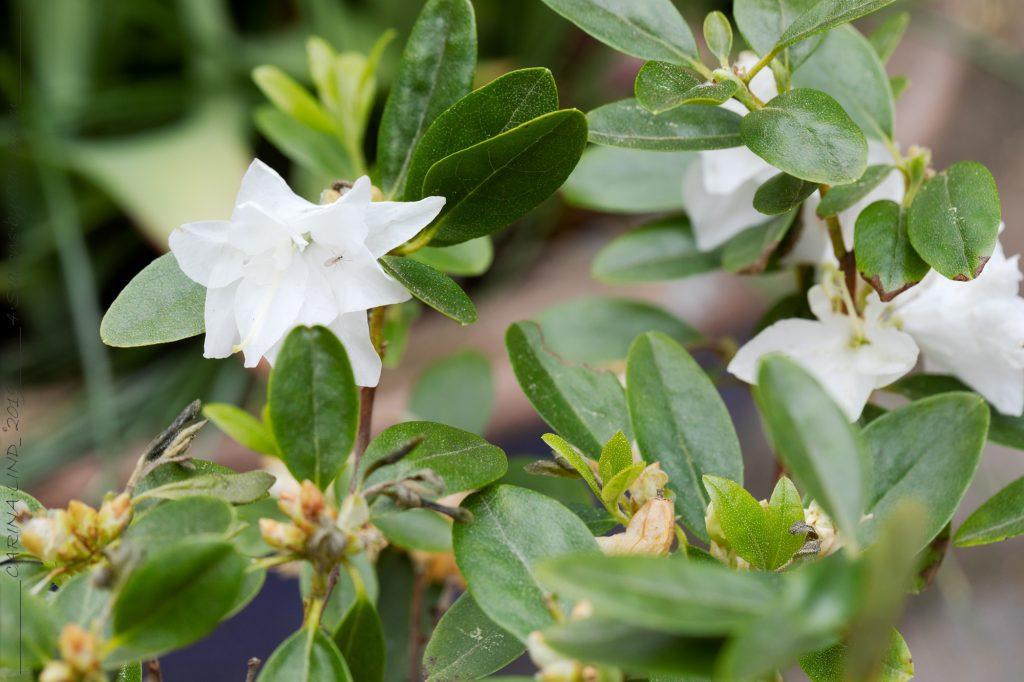 Rhododendron 'April Snow' vit dubbel låg rhododendron