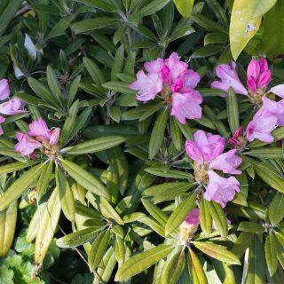 Rhododendron Makinoi-grp Silber klon