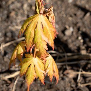 Frösådd Acer - lönn, seedling