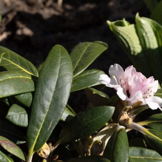 Rhododendron Yak-grp 'Rexima'