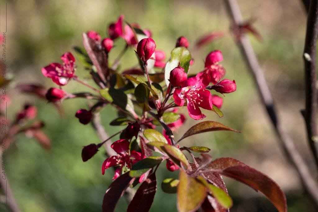 Mina växter - Malus toringo 'Freja'