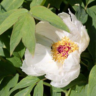Frösådda pioner, Paeonia ostii seedling- henanbuskpion