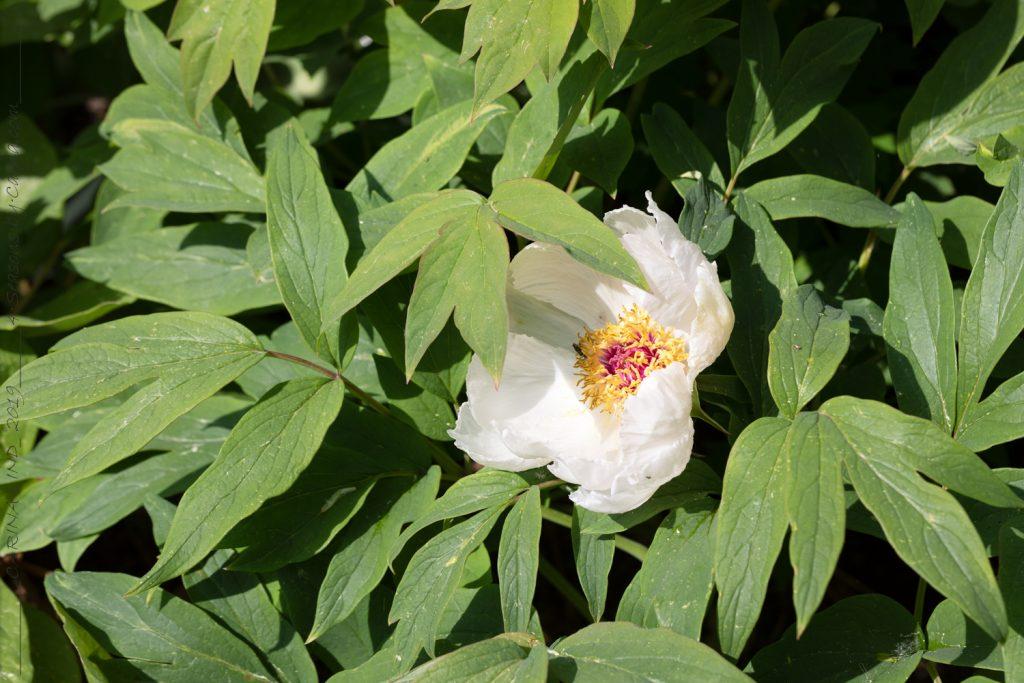 Paeonia ostii seedling- henanbuskpion