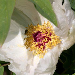 Frösådda pioner - Paeonia ostii seedling