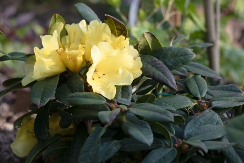 Rhododendron Wardii-grp 'Golden Everest'