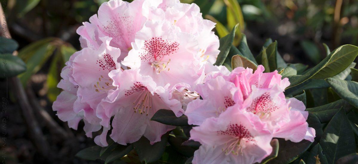 Rhododendron – vintergrön rumsbildare