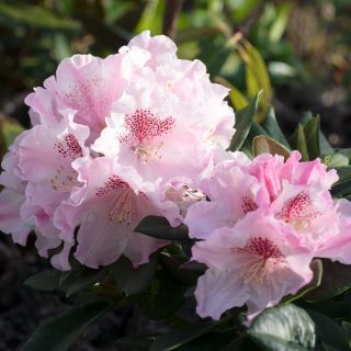 Rhododendron 'Grugaperle'