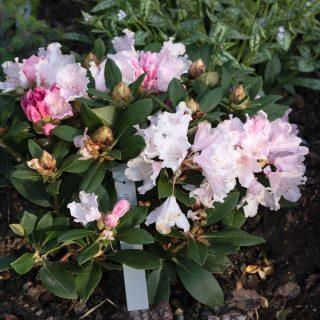 Rhododendron Yak-grp 'Dreamland'
