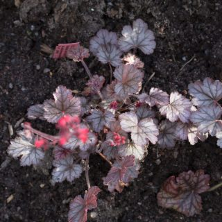 Heuchera 'Red Pearl' - alunrot