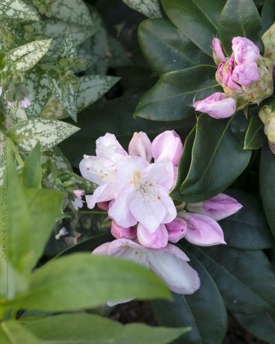 Rhododendron Catawbiense-grp 'Gomer Waterer'