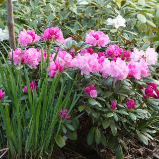 Rhododendron Yakushimanum-grp 'Hachmann's Polaris''